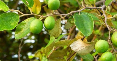mengenal buah bidara  khasiatnya tanaman berkhasiat