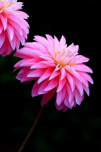 dahlia bench 5584 best beautiful pictures of nature images on pinterest