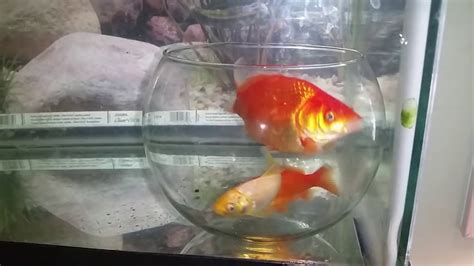 Stelan Gold Fish Kid psychology of fish bowl inside tank experiment part 1 part 2 https youtu be f6yj8xpinly