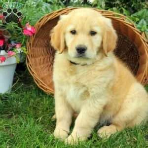 golden retriever puppies lancaster pa golden retriever puppies for sale