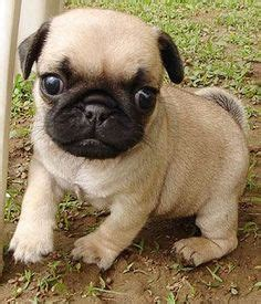 Non Shedding Pug by 1000 Ideas About Small Hypoallergenic Dogs On