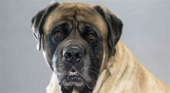 mastiff colors mastiff breed information american kennel club