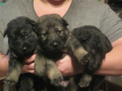 german shepherds for sale 9 german shepherds for sale colchester essex pets4homes