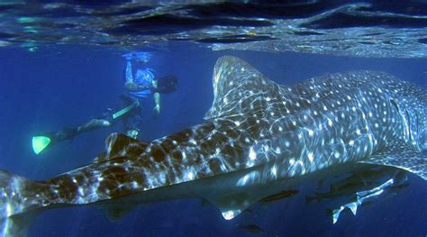 ningaloo whale shark and dive ningaloo reef whale shark quest australia dive