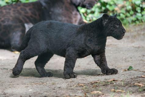 jaguar kitten black jaguar panther cat predator baby kitten section
