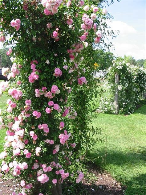 top 10 roses in the world climbing rose gardening