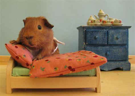 guinea pig beds guinea pig just made up my bed art print by lali s