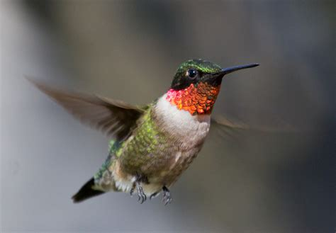 all about birds ruby throated hummingbird