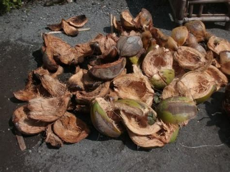 membuat zpt dari air kelapa membuat pupuk kcl dari sabut kelapa satu jam