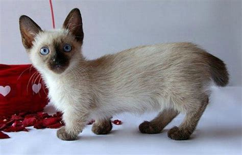 Munchkin Cat   Breeders, Rescue, Pictures, Facts, Care