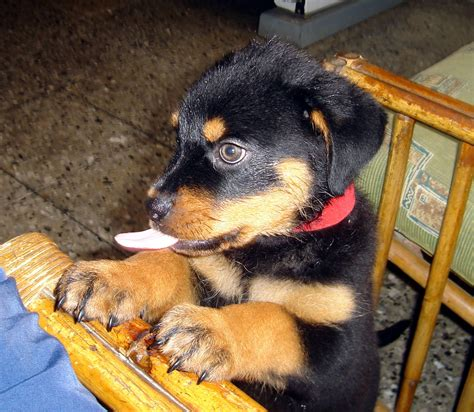 perros rottweiler cachorros los perros peligrosos mi primer post taringa