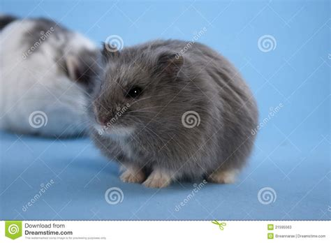 blue hamster blue hamster stock photos image 21595563