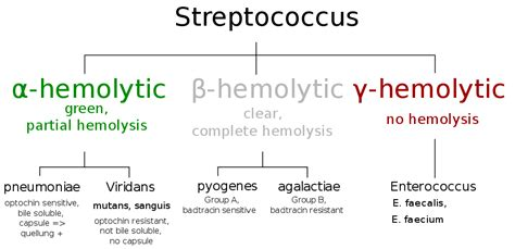 group b strep c section image gallery streptococcus species