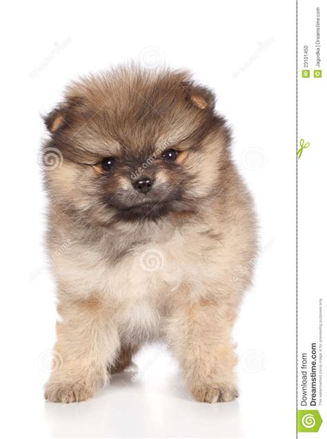 pomeranian puppies for sale in new orleans pomeranian puppies breeds picture