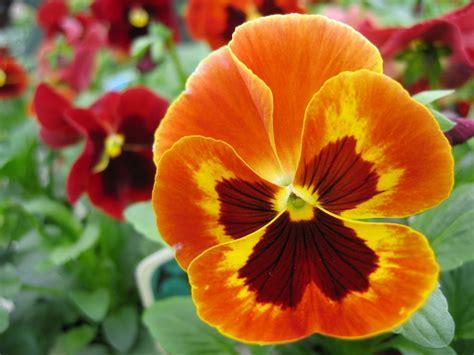 imagenes de flores llamadas pensamientos cuidados de la planta de pensamientos riego abono