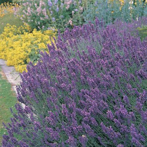 lavender repels fleas ticks deer moths mice black fly and mosquitoes home sweet home
