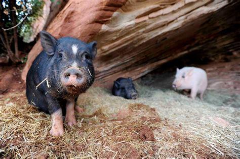 best friends animal sanctuary pigs at best friends animal sanctuary run for food