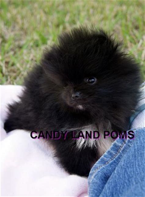 pomeranian for sale houston teacup faced pomeranian puppies for sale in breeds picture