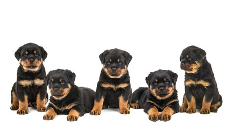 rottweiler socialization rottweiler puppies available in tucson az