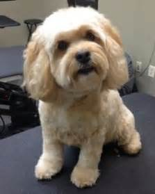 cavapoo haircut before and after 1000 images about cockapoo haircuts on pinterest