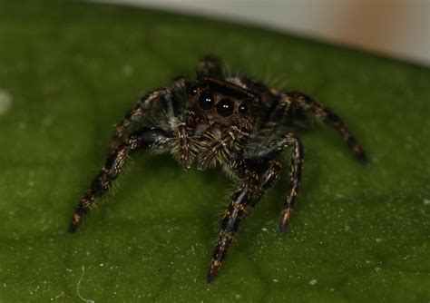 Why Do Tarantulas Shed Their Skin by Baby Phidippus Audax Jumping Spiders By Kozmic Dreams