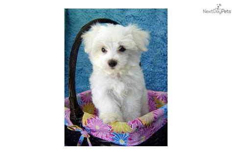 maltese puppies for sale louisiana puppies for sale from la maltese member since november 2006