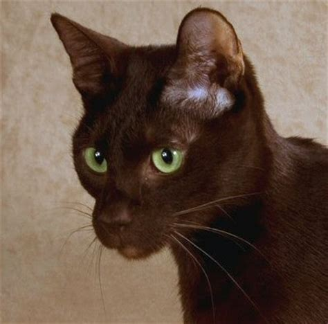 Brown Cat 2 brown cat breed images beautiful cat pictures