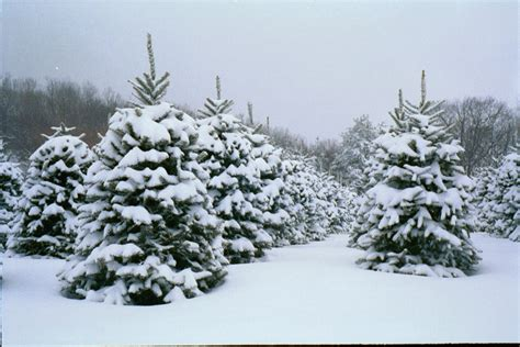 choose and cut christmas tree farms in western north