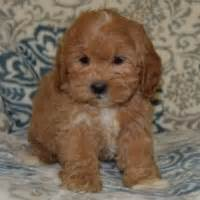 shih poo puppies for sale in va puppies for sale in pa ridgewood puppies for sale