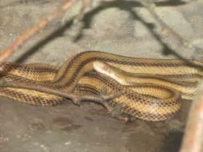 Pantherophis obsoleta quadrivittata the yellow rat snake