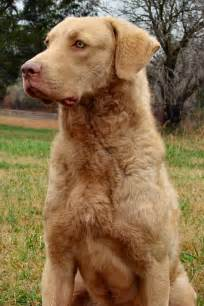 chesapeake bay retriever colors chesapeake bay retriever dogs dogs dogs i them