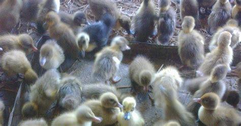 Jual Bibit Bebek Di Palembang jual bibit bebek hibrida jual puyuh bibit puyuh