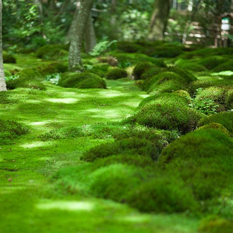 Moss Garden Kyoto by Kyoto Moss Universe Flickr Photo