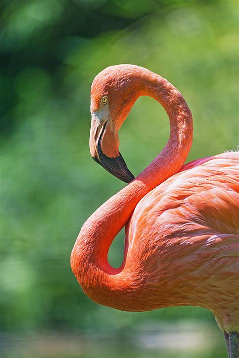 flamingos mac wallpaper freeios7 curved flamingo parallax hd iphone ipad wallpaper