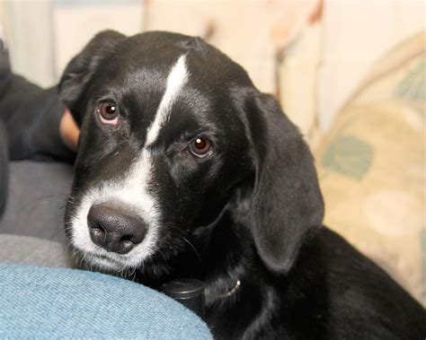 lab collie mix puppies rebel a 5 to 6 month lab border collie mix puppy adopted in manahawkin