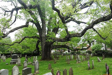 7 cherry tree ridge nj n j white oak one of the oldest in the county reportedly may be dying white