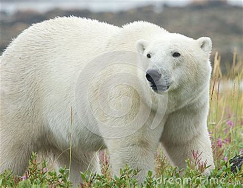 polar standing in the grass 3 royalty free stock image image 34810516