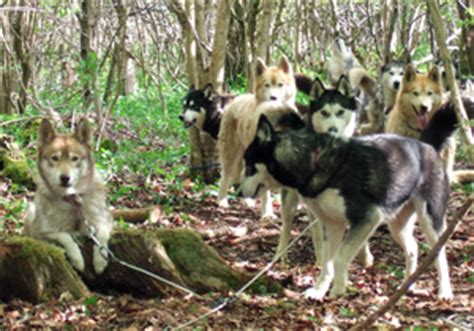 how are sled dogs trained sled woodlands co uk