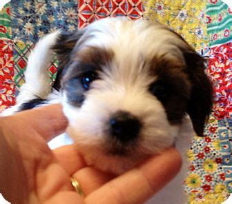 shih tzu st louis adopted puppy st louis mo maltese shih tzu mix