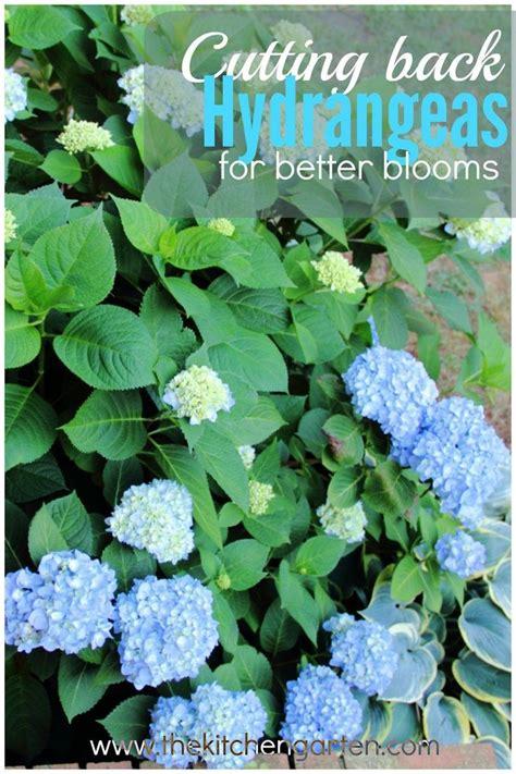 25 best ideas about pruning hydrangeas on pinterest