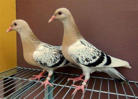 Pigeon 2 Pa de 227 b 228 sta الحمامة bilderna p 229 animales insekter och f 228 rgglada f 229 glar