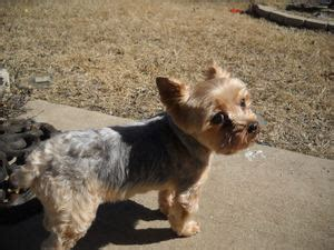 arthritis in yorkies terrier spud muffin