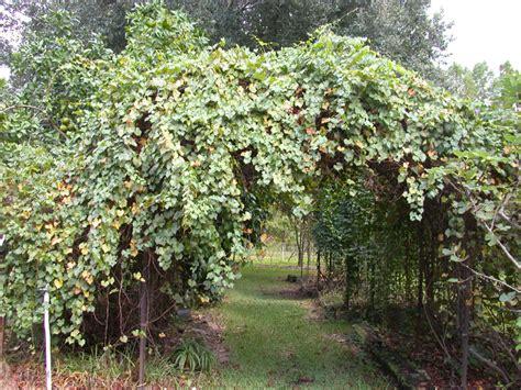 arbor grape arbor tool galleries