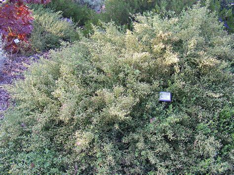 bees  love  coyote brush hedge root simple