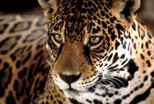 Jaguar Photography Jaguar Tracking Tours Special Interest Tours