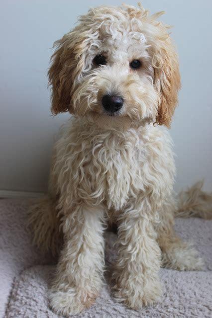 labradoodle dog puppy  image  pixabay