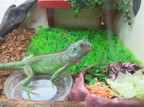 alimentazione iguana tartarugando scheda di allevamento iguana iguana