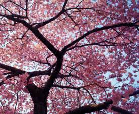 Beautiful cherry blossom tree flower wallpaper wallpapers gallery