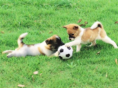 play with puppies puppies soccer animal sports league football soccer and puppys