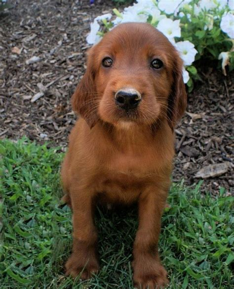 red setter dog puppy 89 best irish setter love images on pinterest doggies
